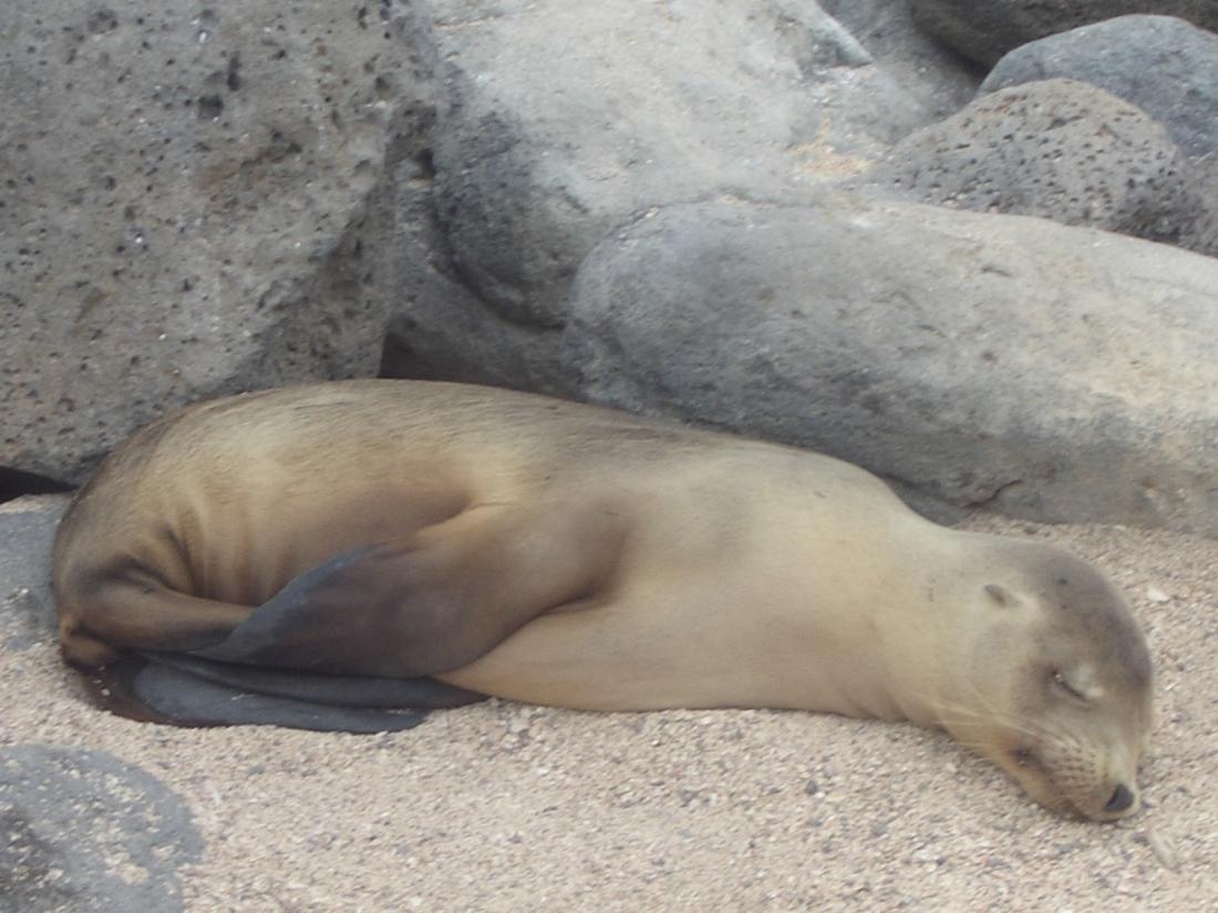 young-sea-lion-asleep-galapagos
